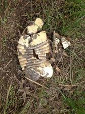 4-Armadillo roadkill